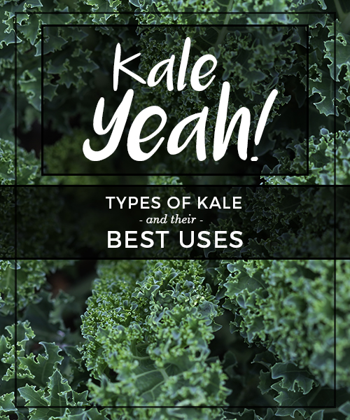 Kale Yeah! Types of Kale and their Best Uses